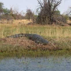 Botswana_krokodil