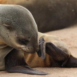 Namibië_baby seal