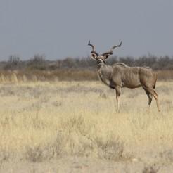 Botswana_kudu