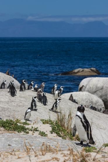 Pinguins boulders beach kaapstad capetown