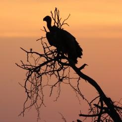 24_Vulture_close