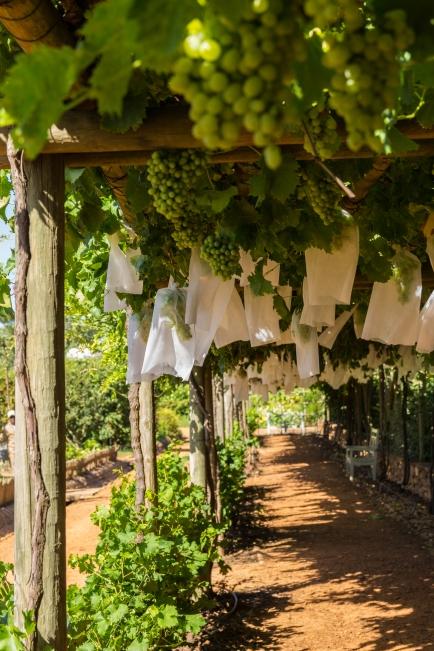 babylonstoren druiven